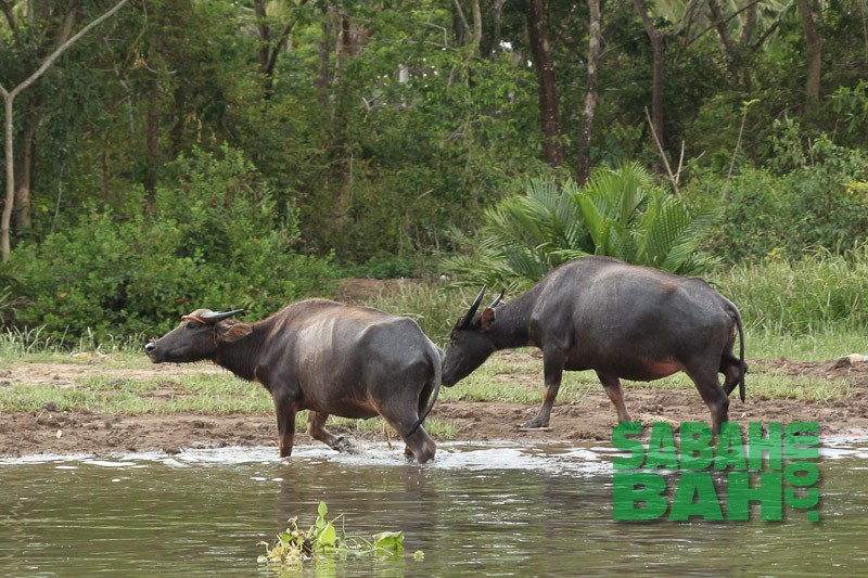 Buffalo (kerbau) spotted during Proboscis Monkeys & Fireflies River Cruise, Kota Kinabalu, Sabah